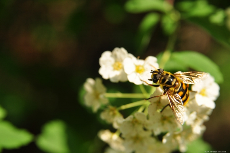 Hover Fly Mistaken For Bee